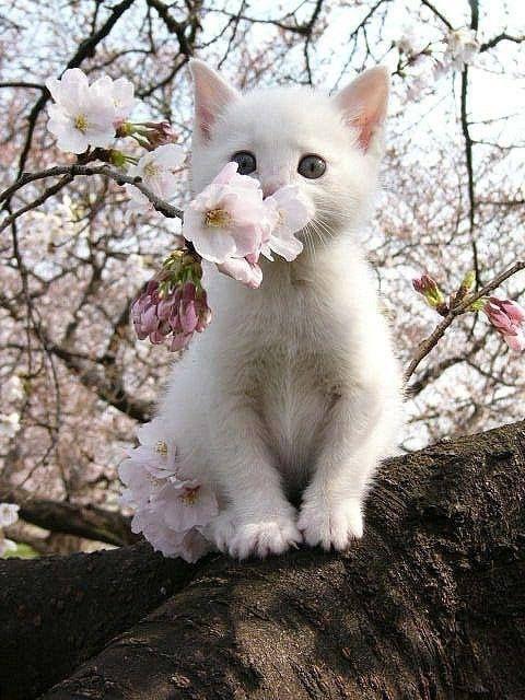 chat et fleur de cerisier