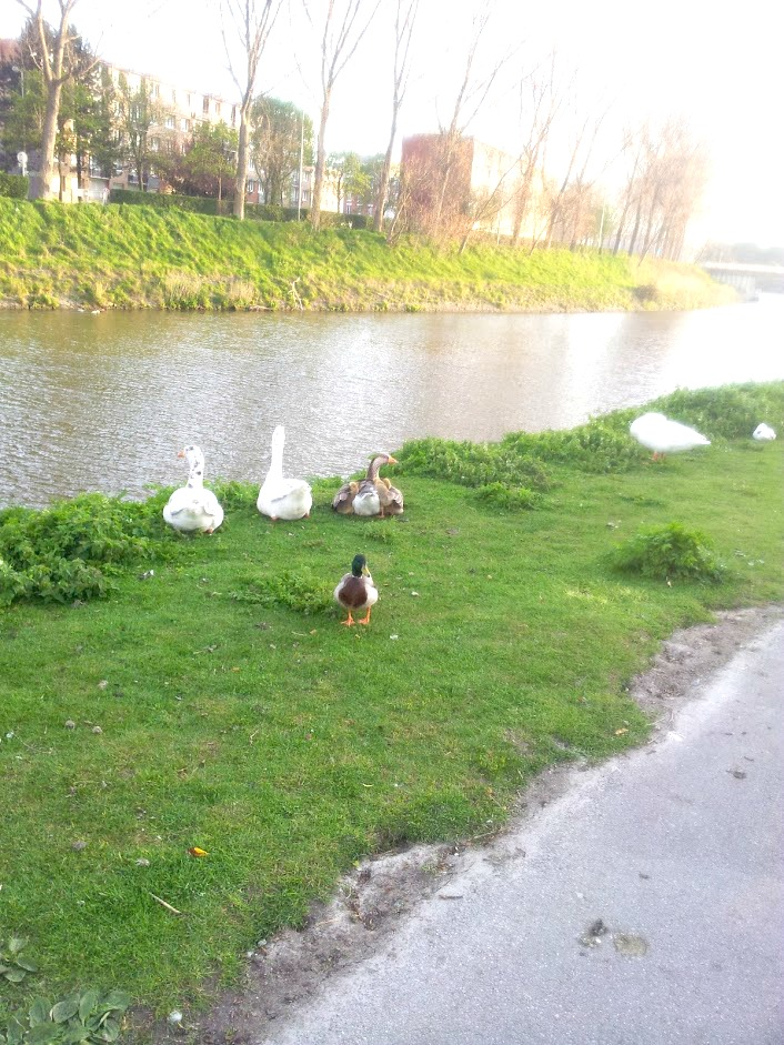 canal de furne coudekerque dunkerque nord nature canard oies slow life