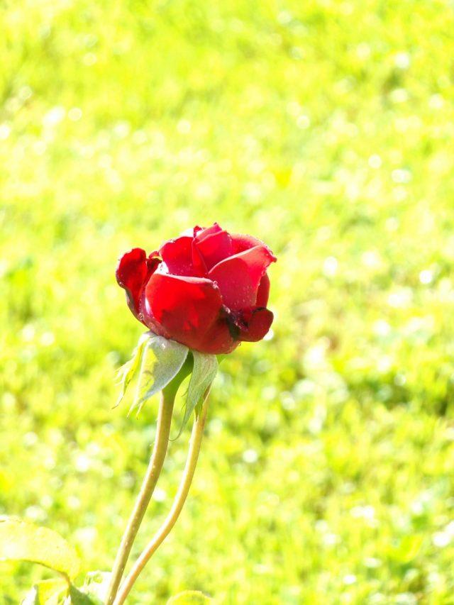bouton de rose coudekerque branche