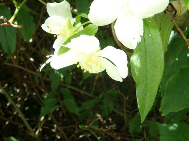 fleur blanche feuillage nature
