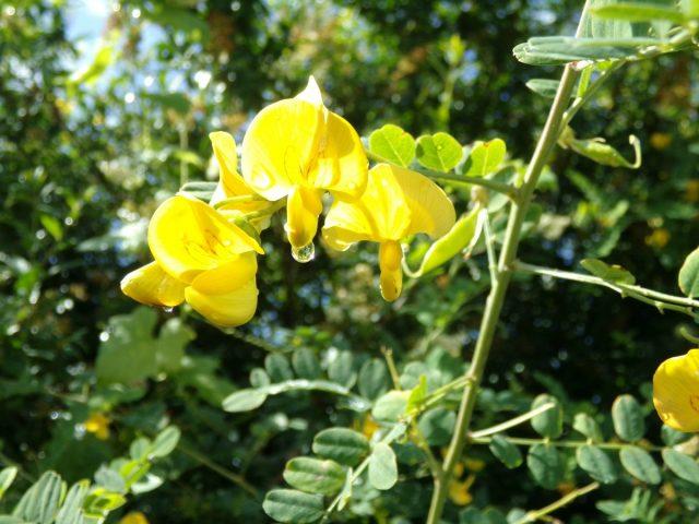 fleurs goute de pluie coudekerque