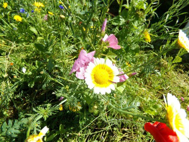 fleurs sauvages coudekerque branche