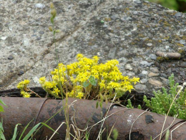 petites fleurs jaunes nature urbaine
