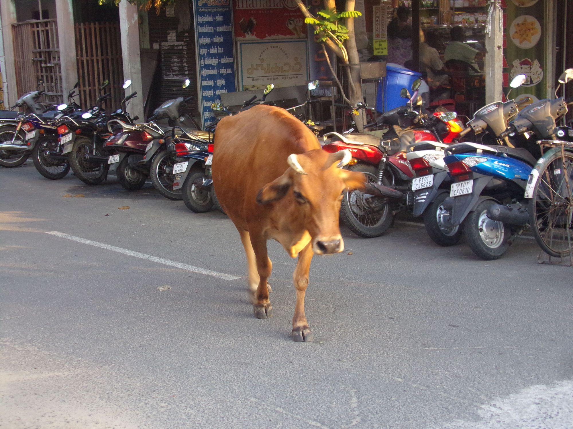 vache sacree inde pondicherry 2016
