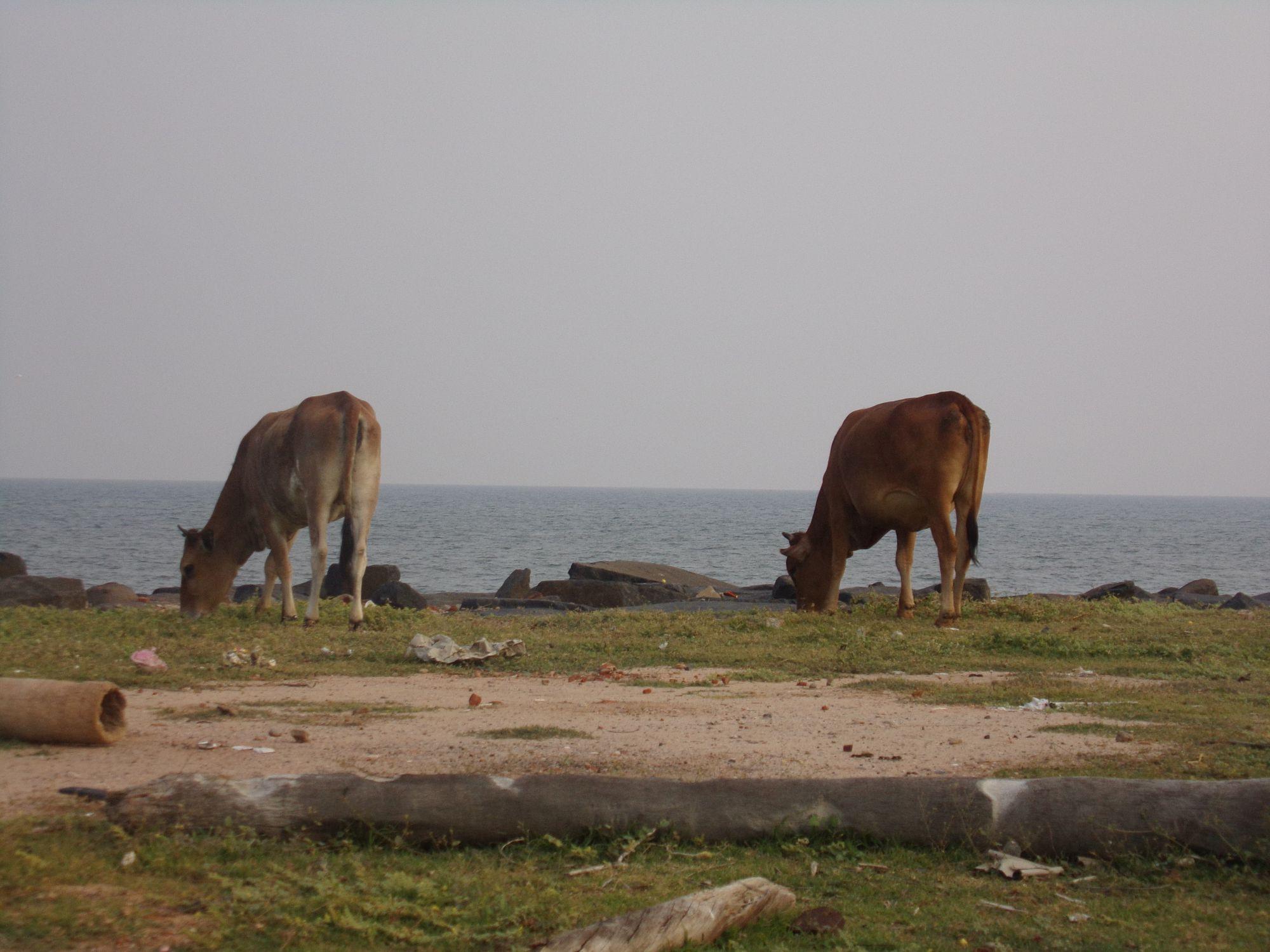 Inde du sud vache ocean indien