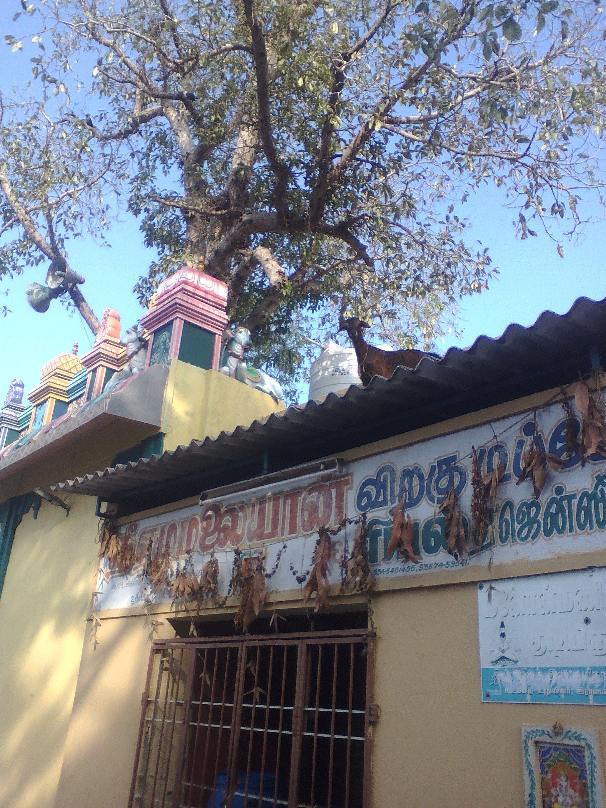 chevre temple pondicherry inde quotidien