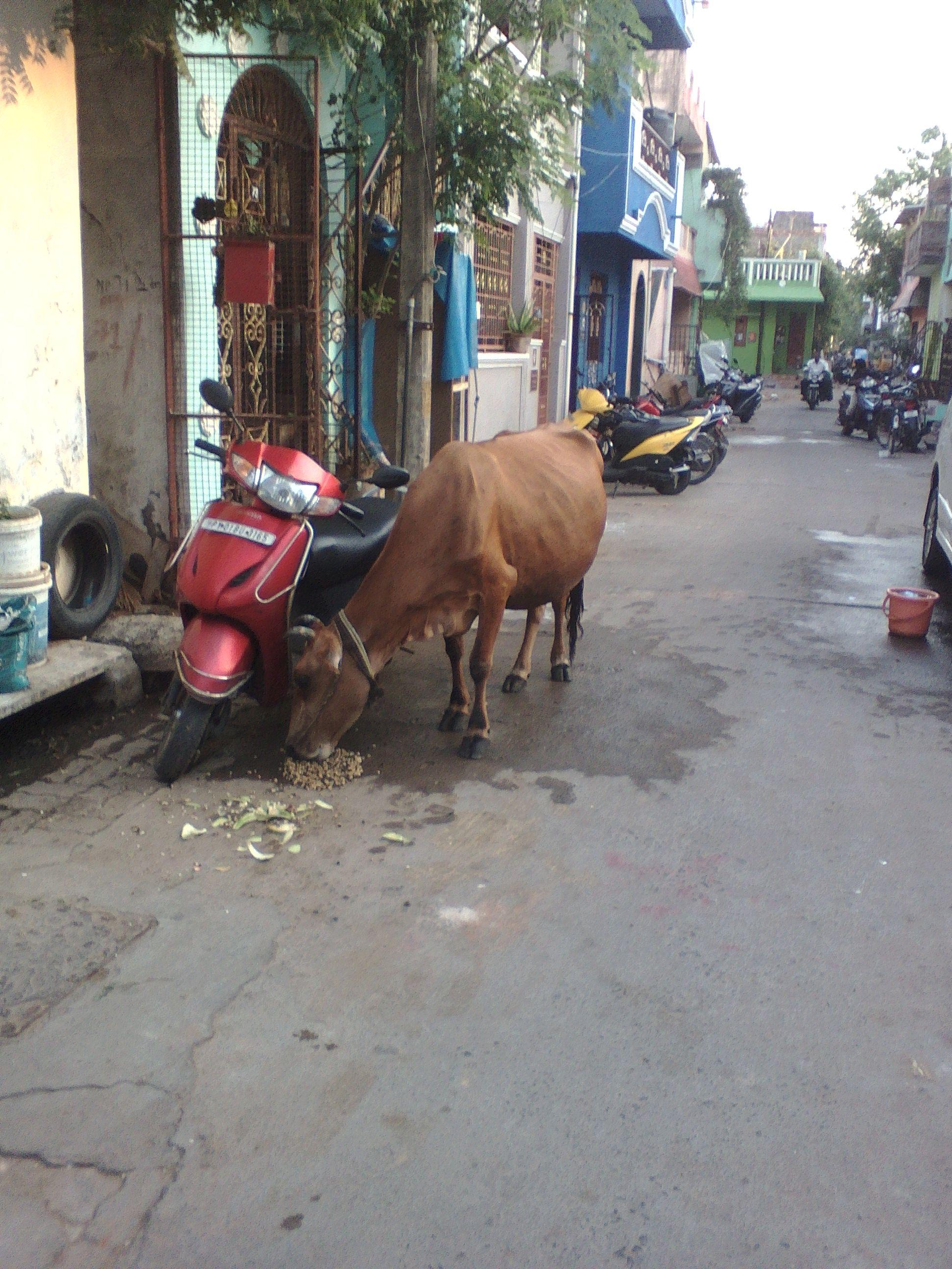 vache inde pondicherry rue