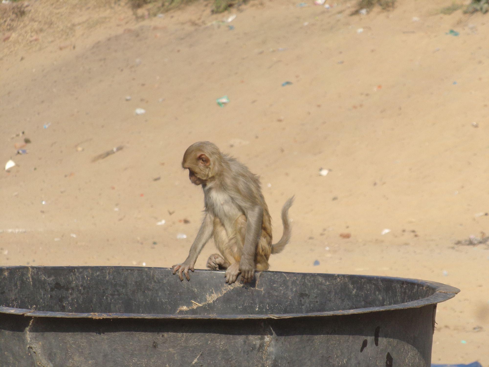 inde puri petit singe