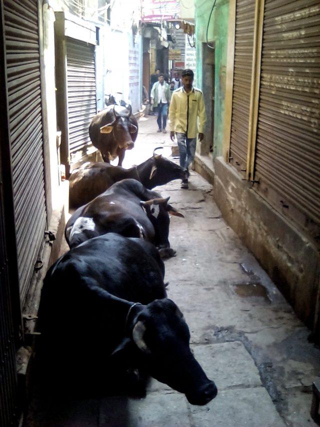 varanasi vieille ville vaches et petites rues