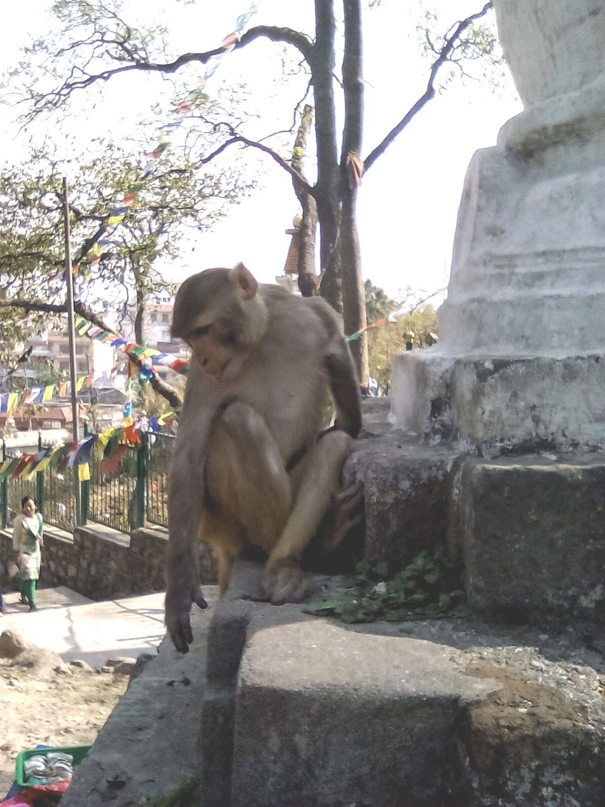 monkey temple singe katmandou nepal visite