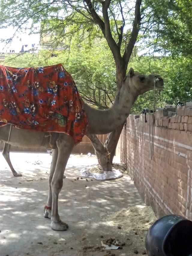 jaipur inde chameau