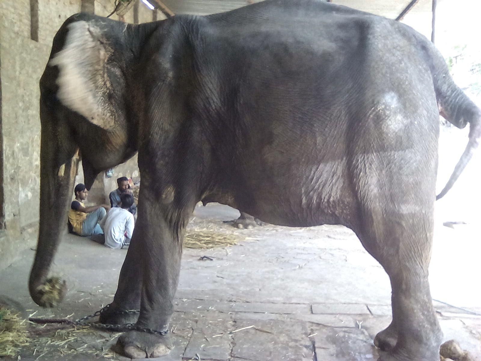 jaipur inde elephant