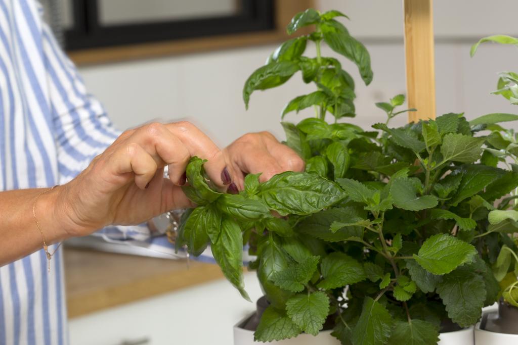 LILO récolte basilic