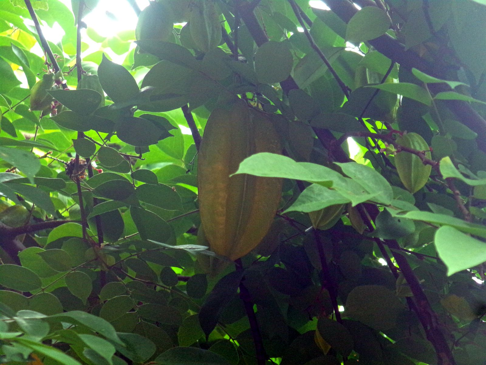 carambole vie nomade inde fruit arbre