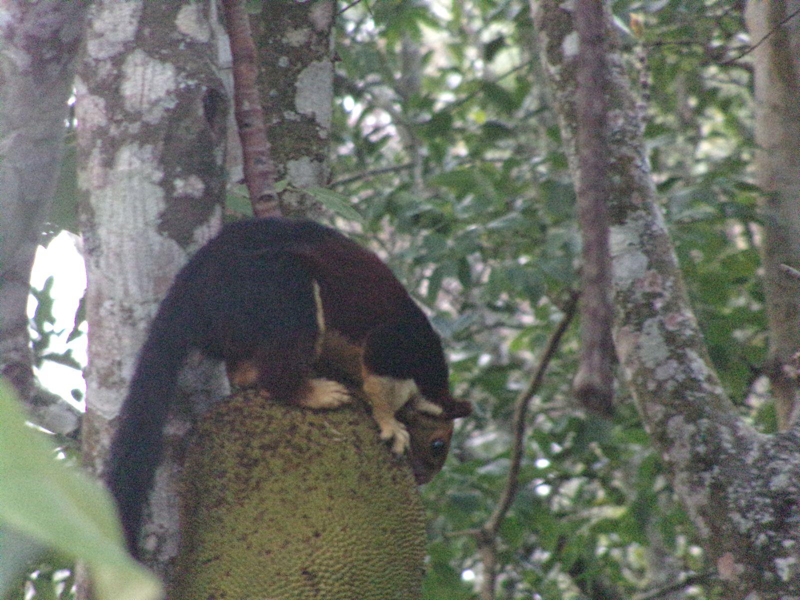 ecureuil des montagnes inde kerala