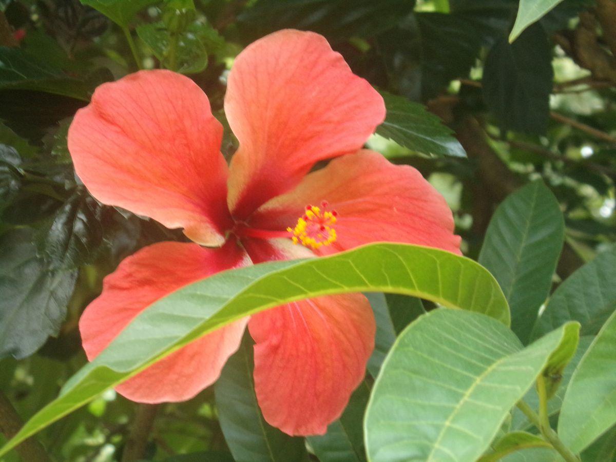 hibiscus nature inde kerala vie nomade