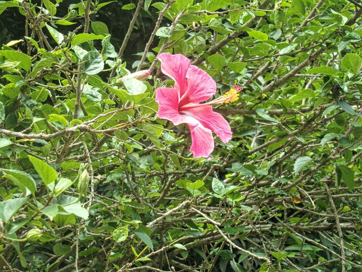 kumily Inde kerala tamil nadu jungle plante hibiscus