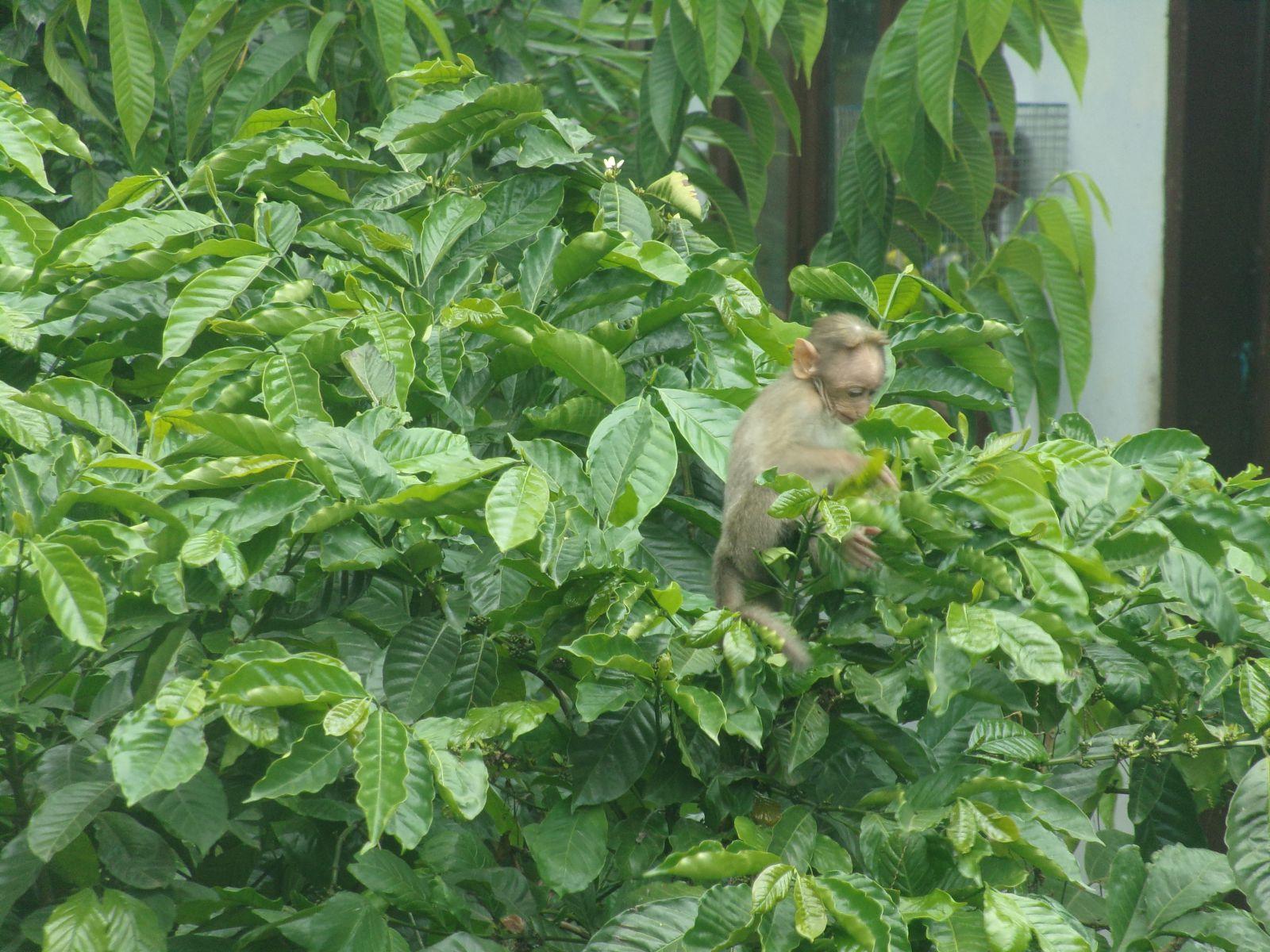 petit singe kerala Inde kumily vie nomade