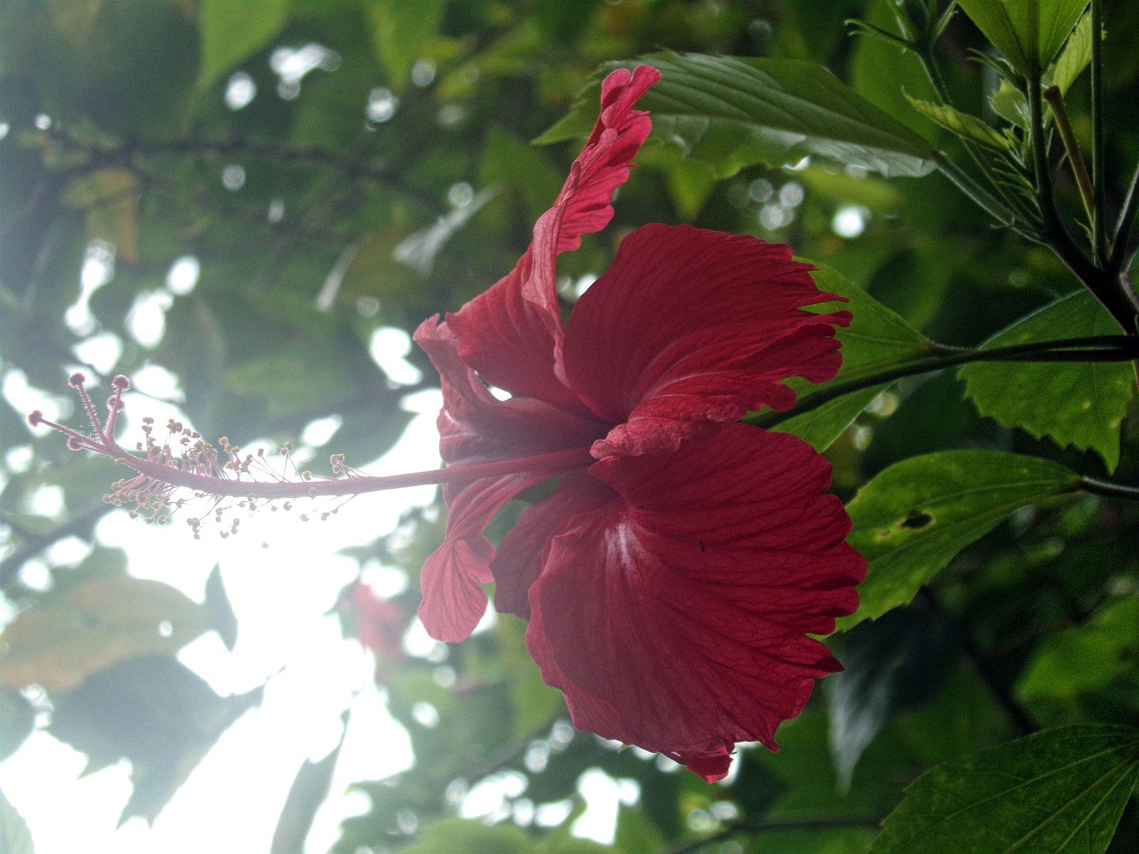 varkala hibiscus plante fleur inde du sud