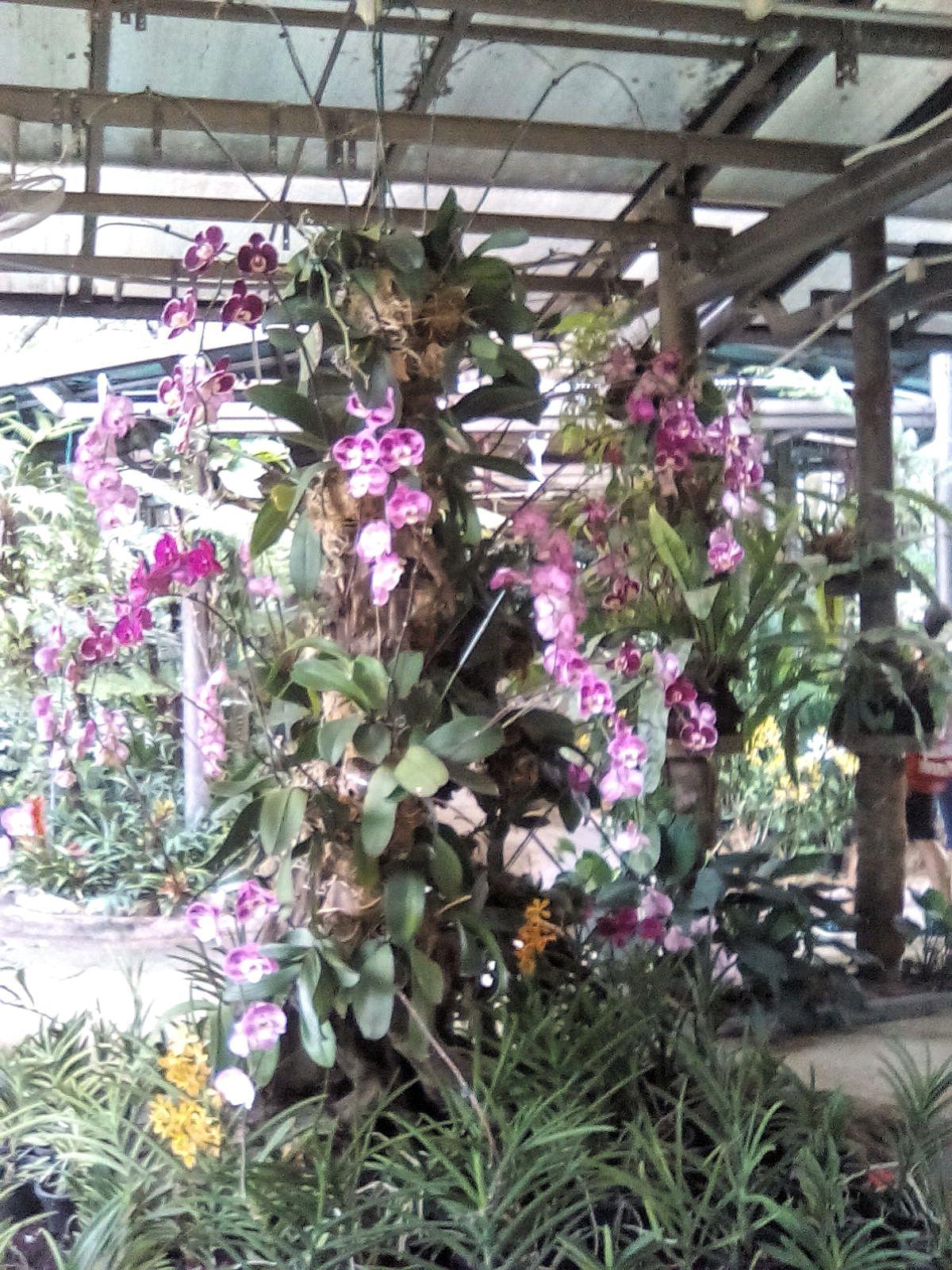 malaisie kuala lumpur jardin orchidee visite gratuite
