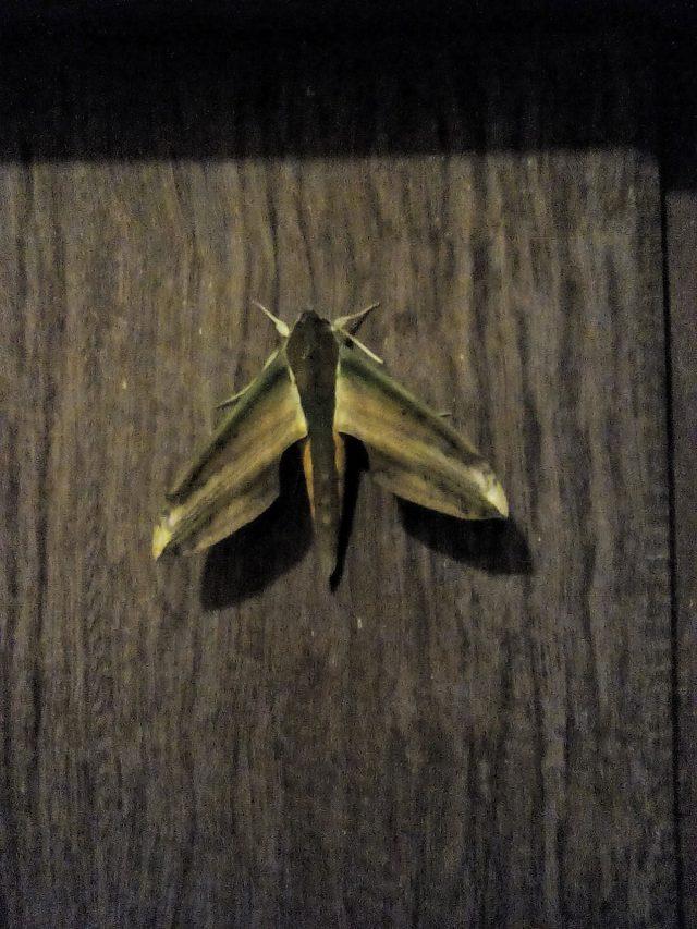 Tu sais que tu voyages dans le sud est de l asie quand cocon d co vie nomade - Gros papillon de nuit dangereux ...