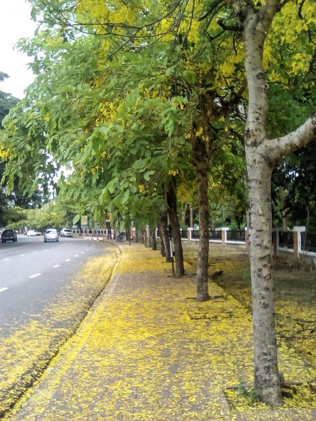 rue chiang mai fleur jaune thailande