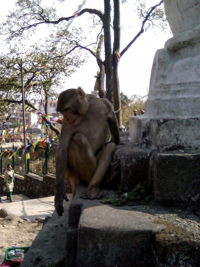 temple singe nepal katmandou voyage