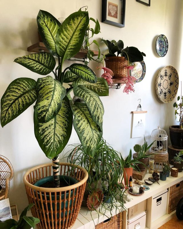 decoration plante interieur dieffenbachia