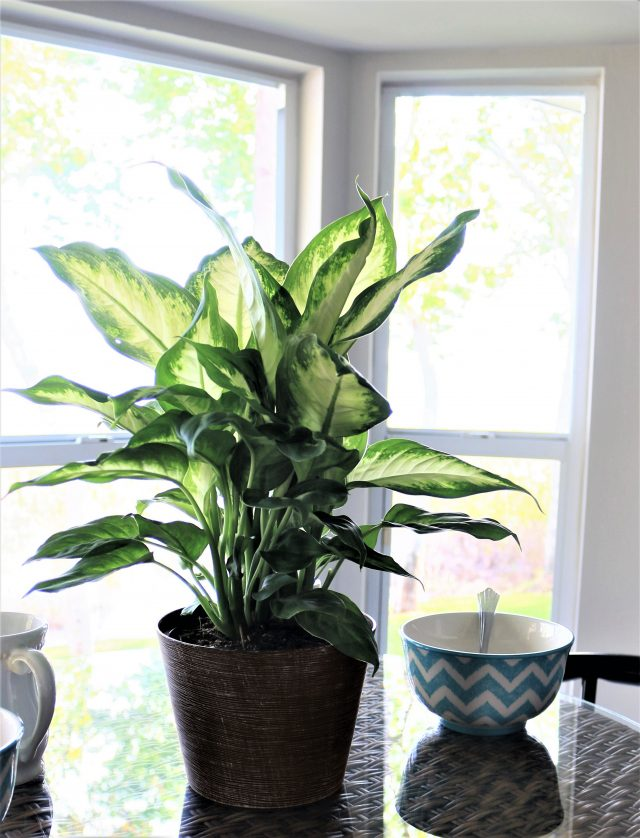dieffenbachia plante exotique interieur deco urban jungle