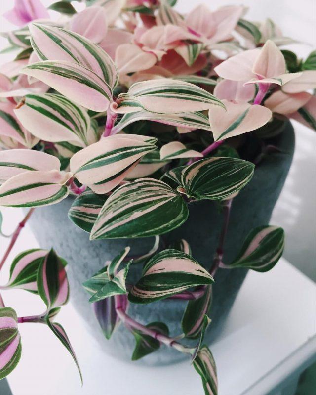 plante exotique misere couleur