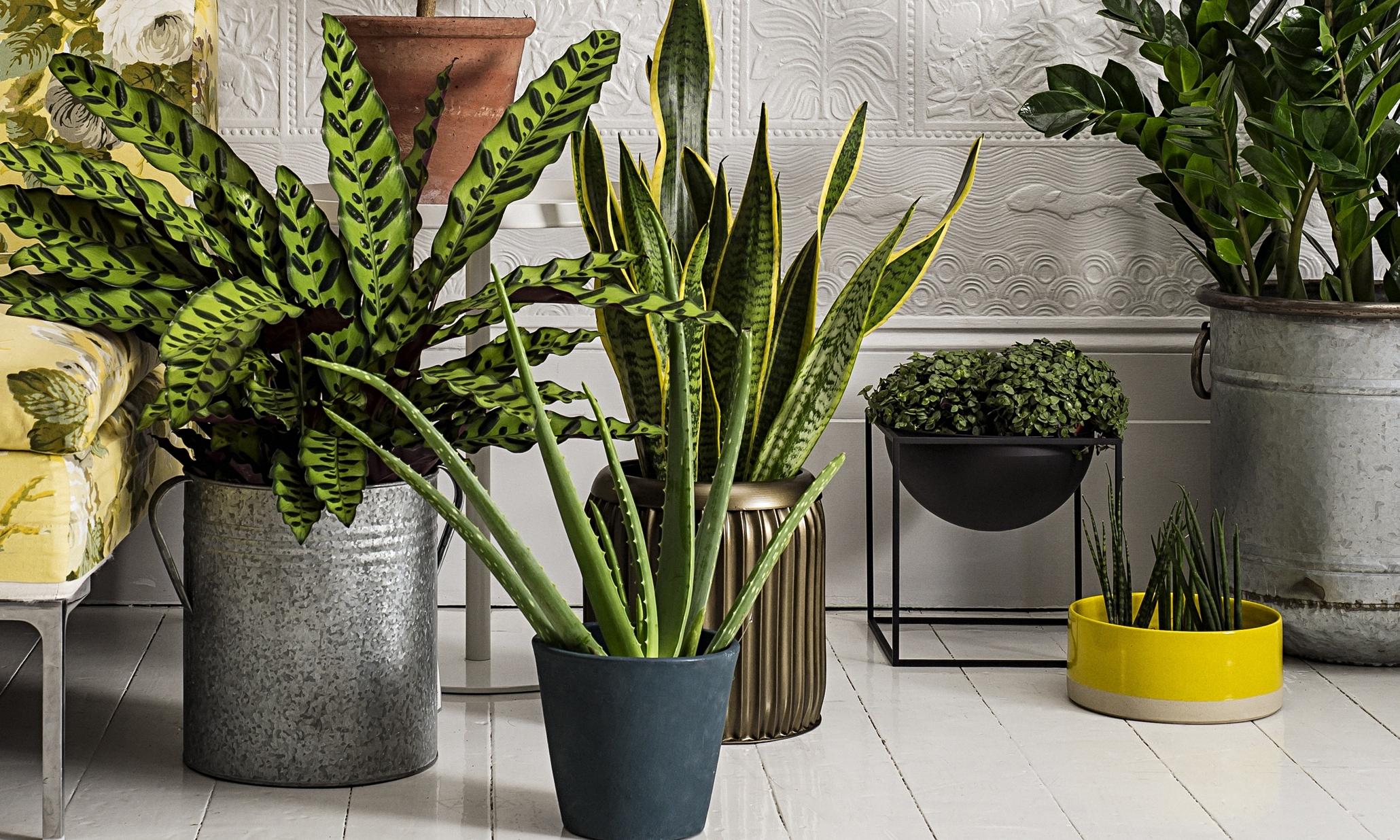 plantes purifiantes et bonnes pour la maison