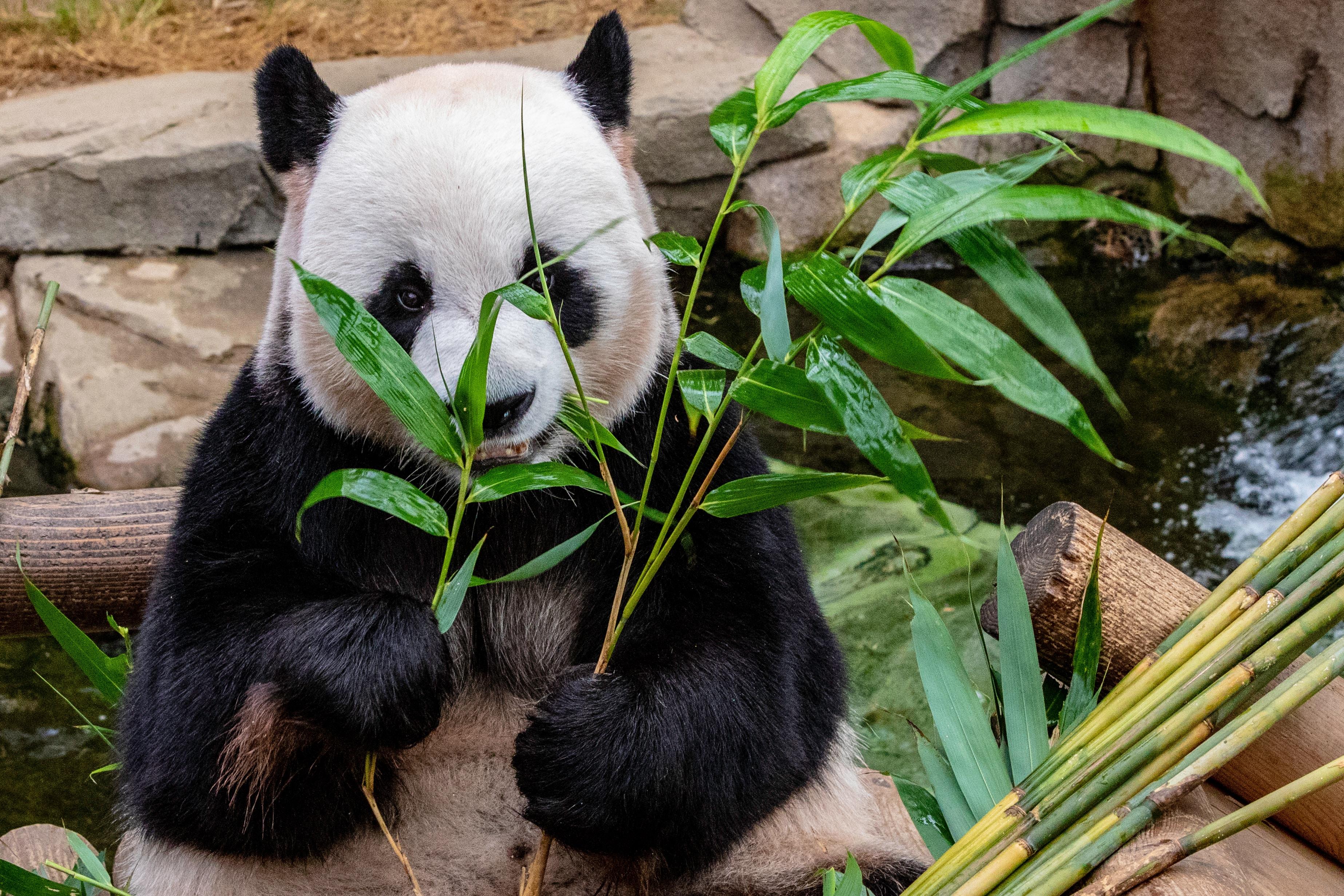 brosse a dent en bambou ecosysteme panda mignon