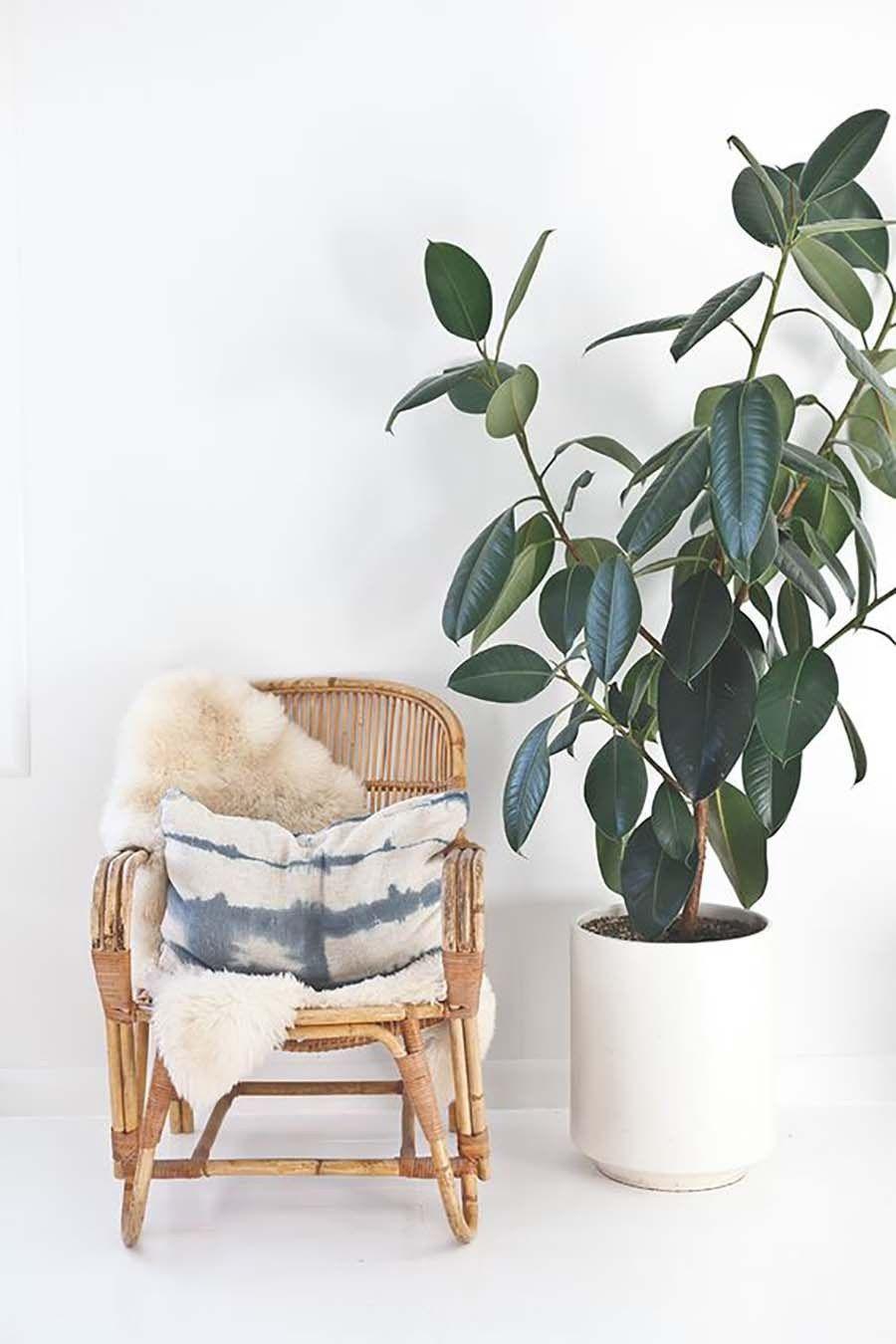 caoutchouc plante verte facile entretien