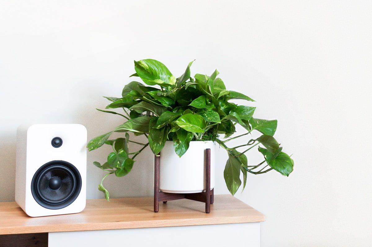 pothos plante facile entretien