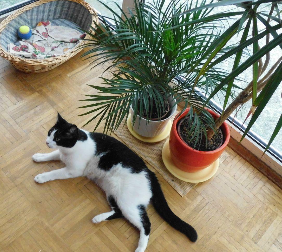 plante depolluante phoenix roebelenii exotique