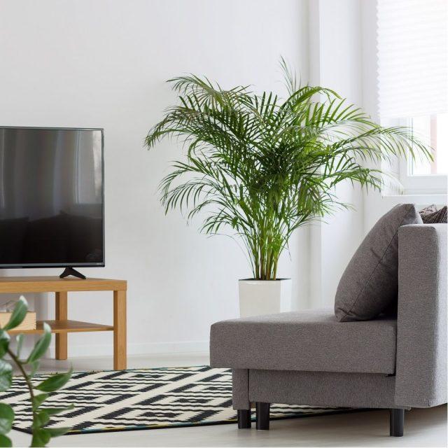 15 plantes dépolluantes pour votre intérieur palmier areca qualité air assainissante