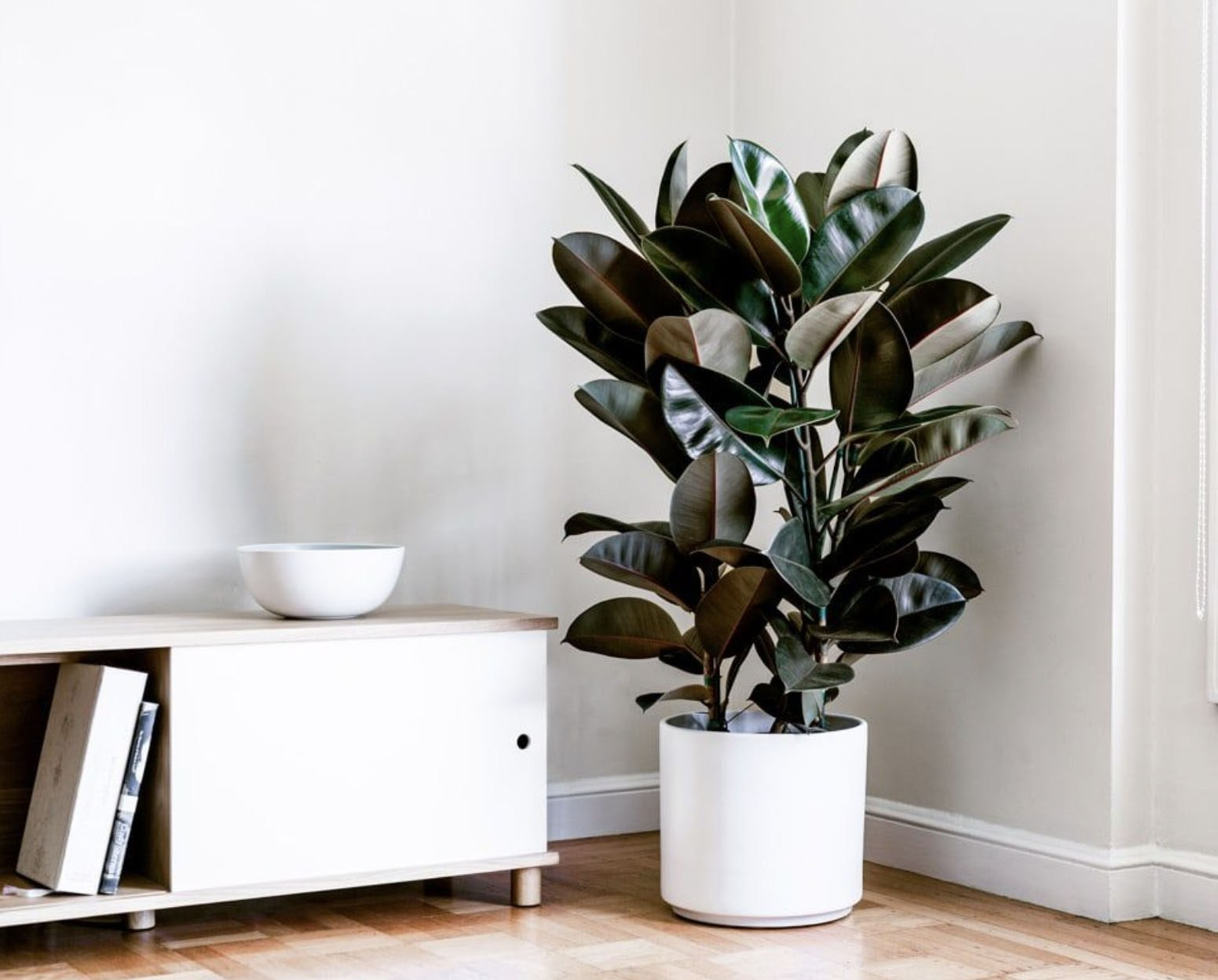 plante verte depolluante ficus