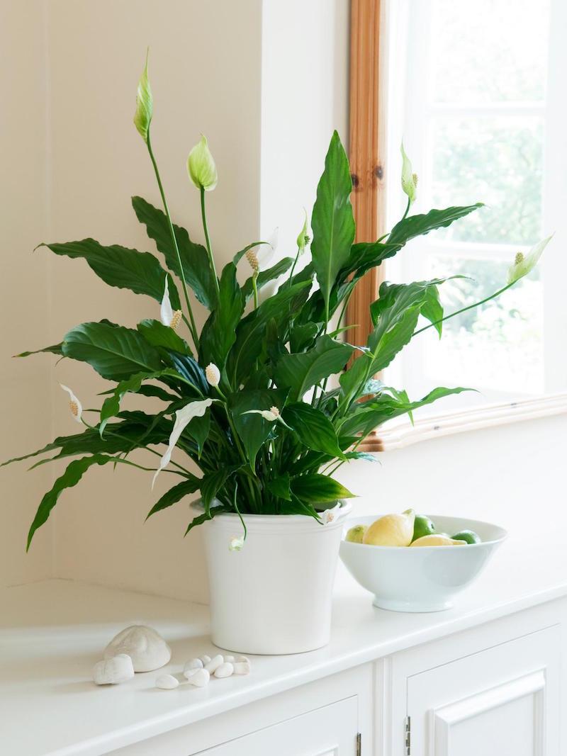 plante verte depolluante fleur de lune