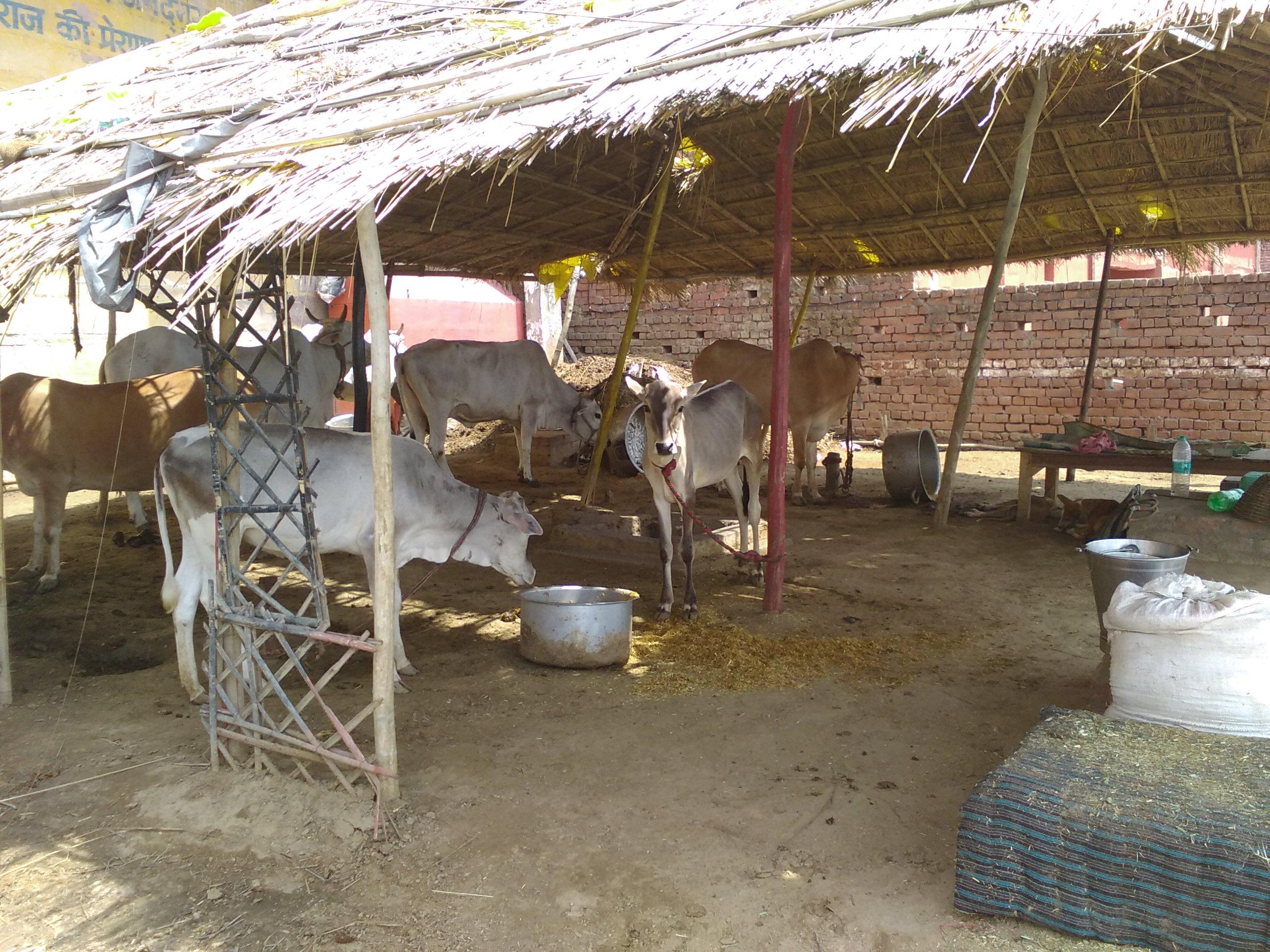 nomadisme varanasi etable ville vache