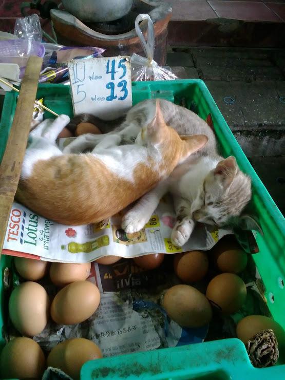 vie nomade thailande petit chats marche oeufs