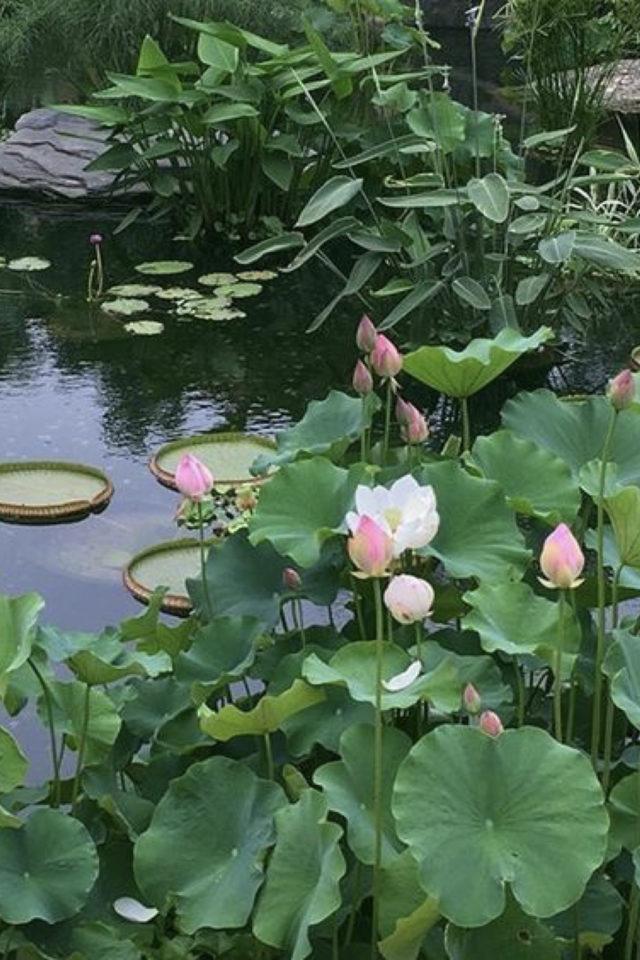idee  joli jardin fleur rose bassin fleur de lotus asie