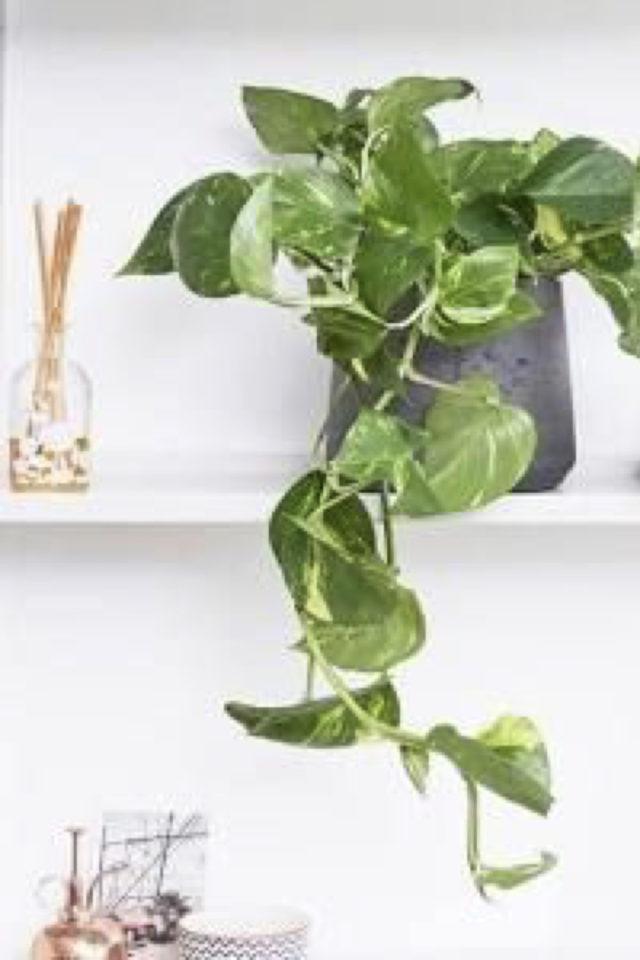 interieur plantes vertes pothos exemple étagère blanche pot gris moderne